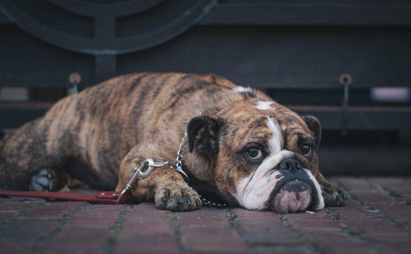 Santé et bien-être du chien : le toilettage et l'assurance animaux