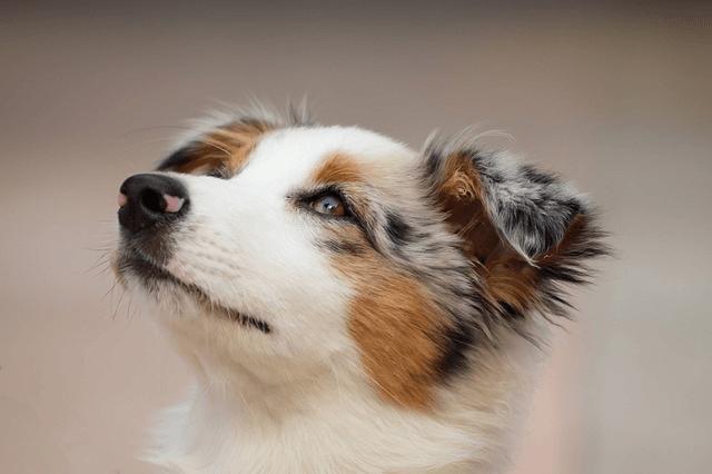 Berger australien le chien numéro 1 en France