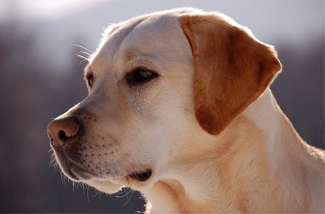 Labrador : caractère, santé, éducation…