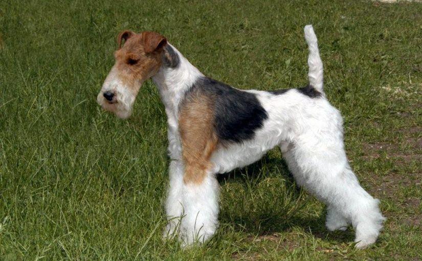 Fox Terrier : caractère, santé, éducation…