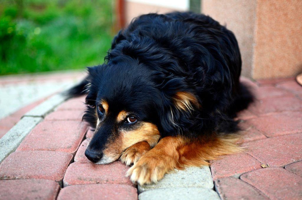 chien dépendant